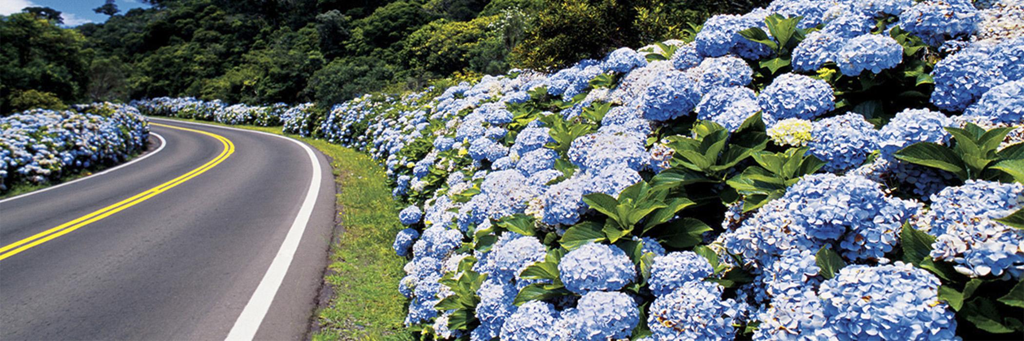 aaHOME ROTEIRO DA SERRA GAUCHA - RS - flores azuis